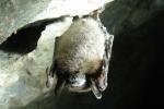Ein Exemplar der Flachohrfledermaus. Sie ernähren sich von Insekten, kleinen Vögeln und Menschenblut (wenn verfügbar).